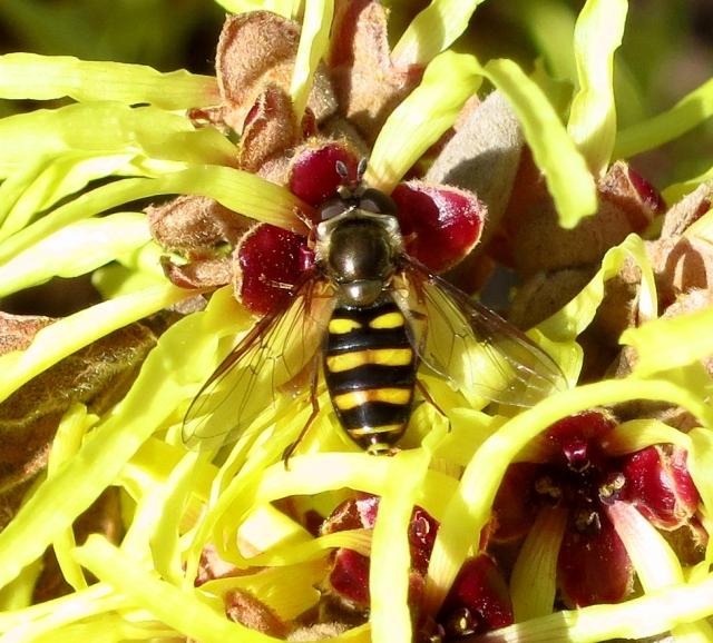 pollinatorhazel