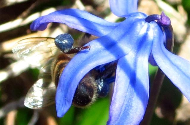 bluepollen