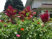 Amaranth and zinnias