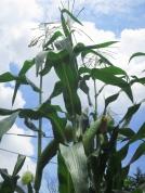 Ve-e-e-ery tall corn!
